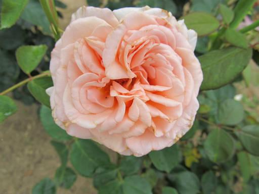 20110625・敷島公園ばら園のバラ45-2