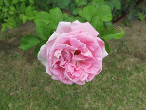 20110625・敷島公園ばら園のバラ47-2