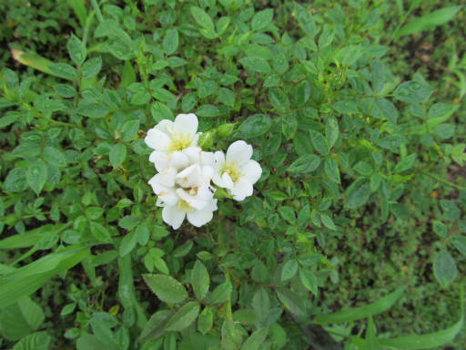 20110625・敷島公園ばら園のバラ51-2