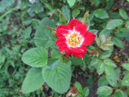 20110625・敷島公園ばら園のバラ49-2