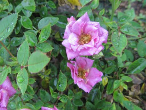 20110625・敷島公園ばら園のバラ53-2