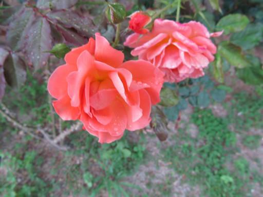 20110625・敷島公園ばら園のバラ59-2