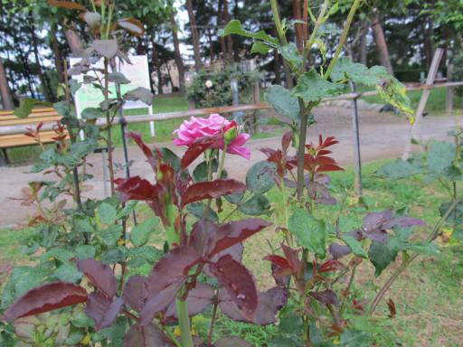 20110625・敷島公園ばら園のバラ61-2