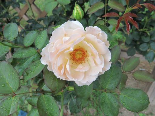 20110625・敷島公園ばら園のバラ60-2