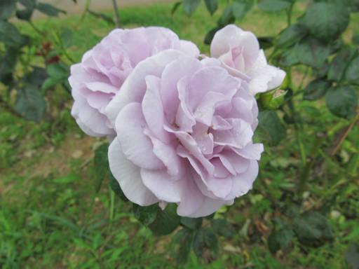 20110625・敷島公園ばら園のバラ61-3
