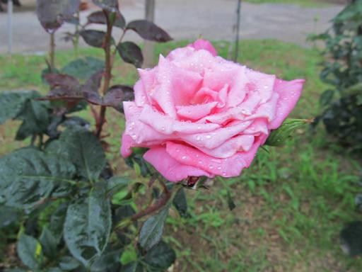 20110625・敷島公園ばら園のバラ64-2