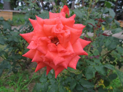20110625・敷島公園ばら園のバラ62-2
