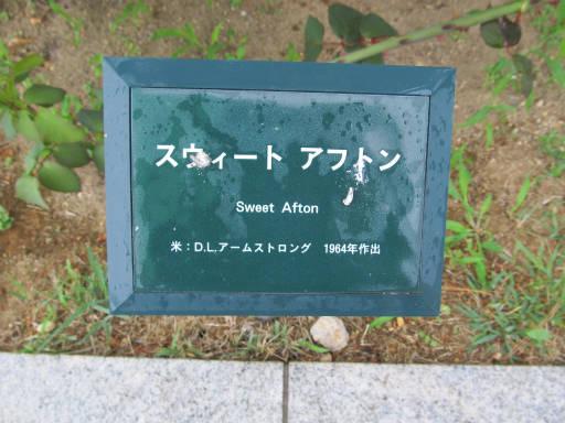 20110625・敷島公園ばら園のバラ65-1