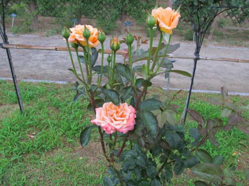 20110625・敷島公園ばら園のバラ68-2