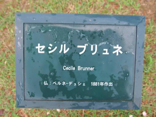 20110625・敷島公園ばら園のバラ71-1