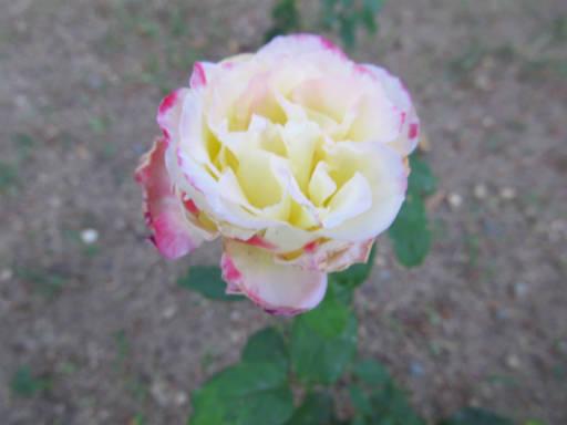 20110625・敷島公園ばら園のバラ73-2