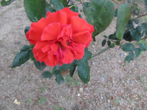 20110625・敷島公園ばら園のバラ72-2