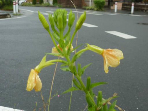 20110731・選挙散歩18・メマツヨイグサ