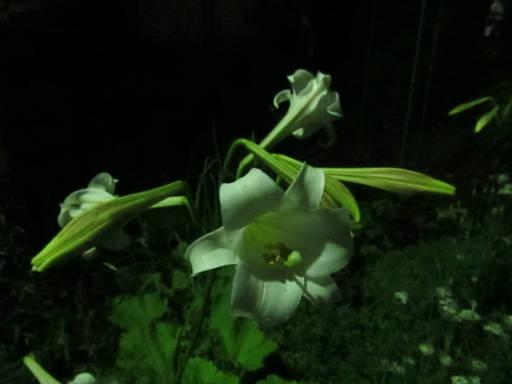 20110824・狭山湖夜の散歩08・テッポウユリ