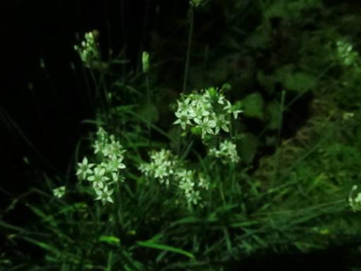 20110824・狭山湖夜の散歩09・ニラ