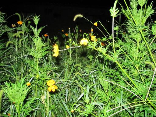 20110824・狭山湖夜の散歩27・キバナコスモス