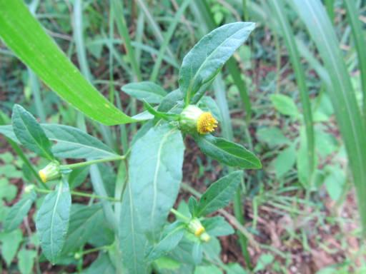 20110828・秩父植物04・ガンクビソウ2