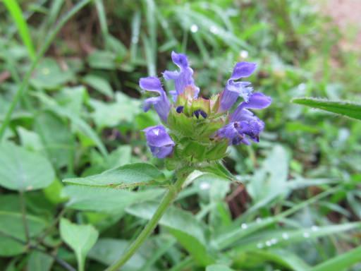 20110828・秩父植物06・ウツボグサ3