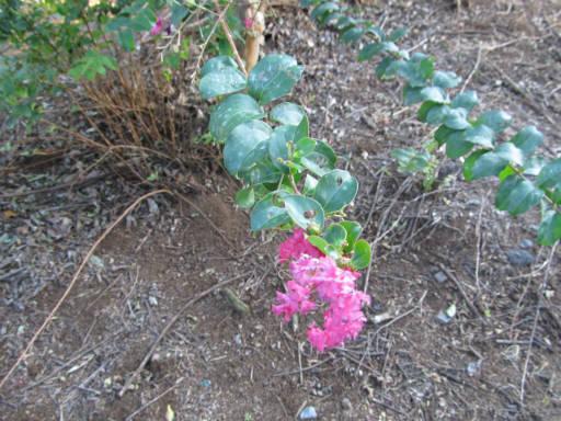 20110918・狭山湖13・サルスベリ