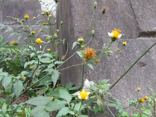 20111105・狭山湖01・アイノコセンダングサ