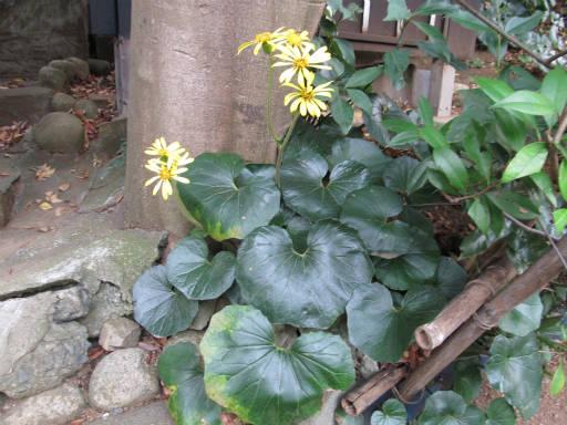 20111105・狭山湖07・ツワブキ