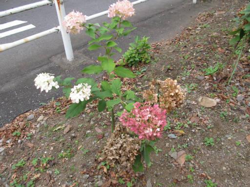 20111105・狭山湖09・ピラミッドアジサイ