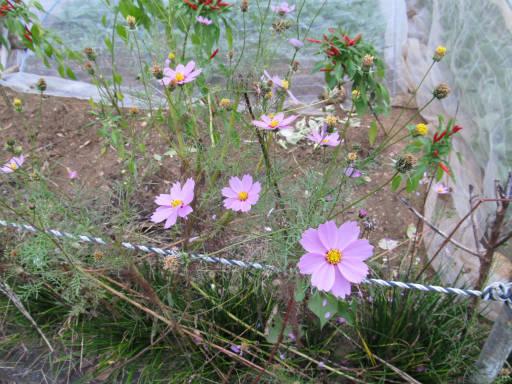 20111105・狭山湖64・コスモス