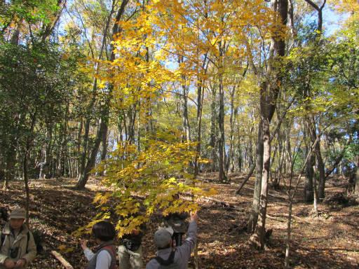 20111204・自然観察会1-19・イタヤカエデ