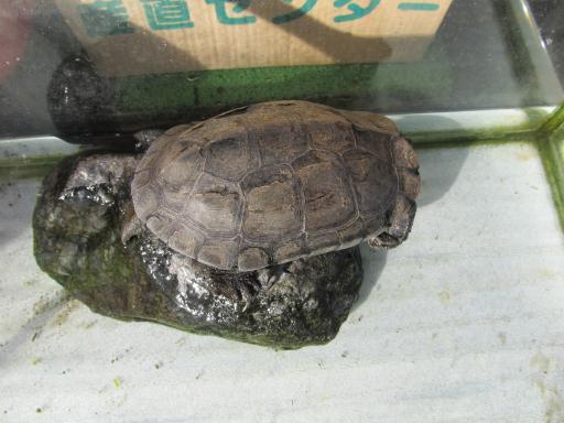 20111218・ビミョー1新井薬師のカメさん