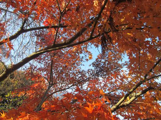 20111218・中野めぐり空15・井の頭紅葉