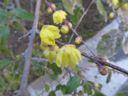 20111225・狭山湖31・ロウバイ