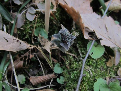 20120115・自然観察会03-2・フデリンドウ