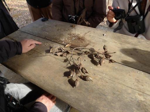 20120115・自然観察会14-1・桐の種