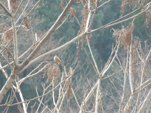 20120115・自然観察会23-3・ジョウビタキ