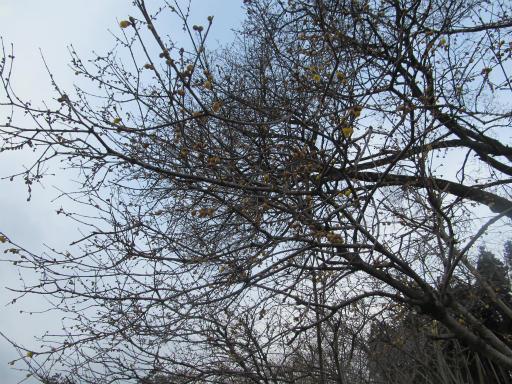 20120127・宝登山3-02P和蝋梅