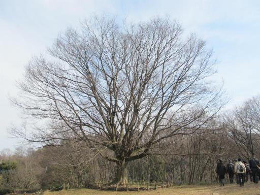 20120205・緑の森24・エノキ