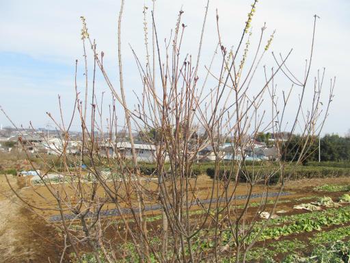20120205・緑の森23・ワロウバイ