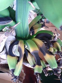 banana3 20090117 1