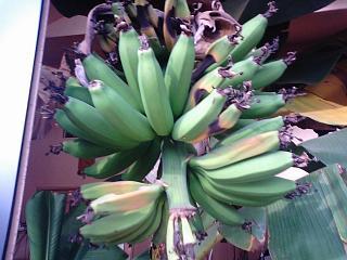 banana3 20090117 2