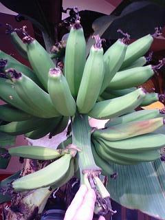 banana3 20090117 3