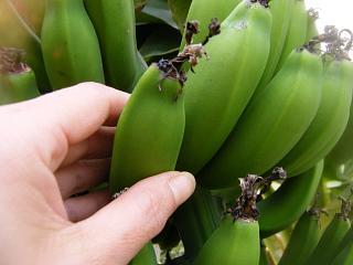 banana2gou20090204 1