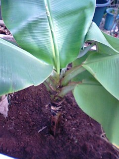 banana4 0210