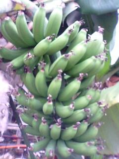 banana2gou0322 1
