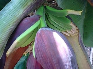 banana4 0619 2