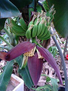 banana4 0624