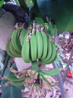banana4 0701