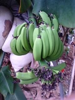 banana4 0716