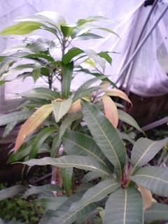 apurumango0322.jpg