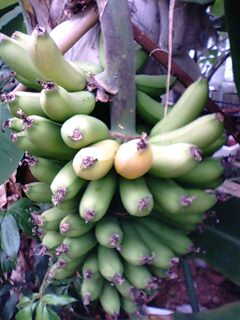 banana0527.jpg