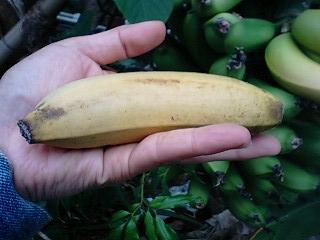 banana0603.jpg